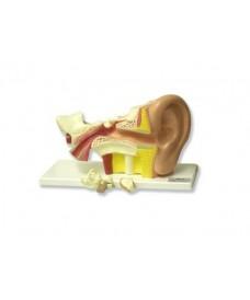 Oído 3x
