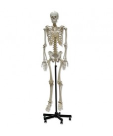 Squelette humain, modèle tridimensionnel