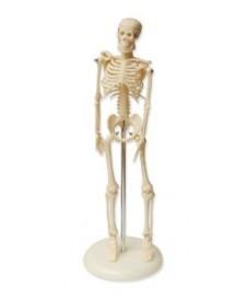 Squelette humain 45 cm, modèle tridimensionnel