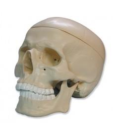 Crâne et mâchoire, modèle tridimensionnel