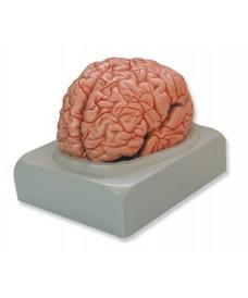 Cerveau humain 9 parties, modèle tridimensionnel