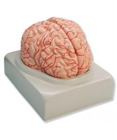 Cerebro humano 2 partes