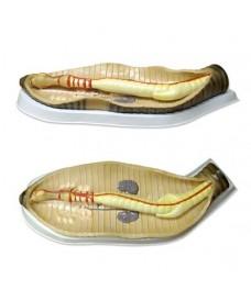 Dissecció de cuc de terra lumbricus