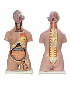 Torse humain bisexuel dos ouvert, modèle tridimensionnel